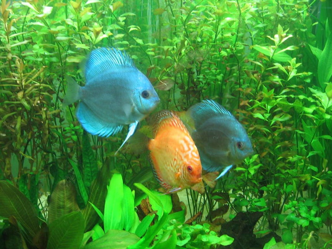 freshwater fish - symphysodon spp. - neon blue discus stocking in 85 gallons tank - my discus2