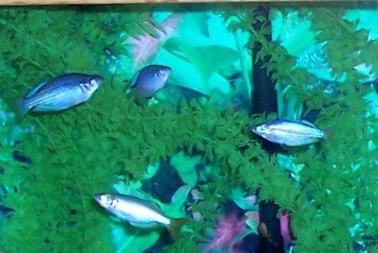 freshwater fish - melanotaenia splendida - australian rainbow stocking in 80 gallons tank - Australian Rainbowfish