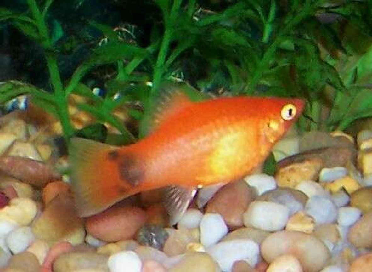 freshwater fish - xiphophorus maculatus - platy stocking in 80 gallons tank - My red pregnant female Mickey Mouse platy.