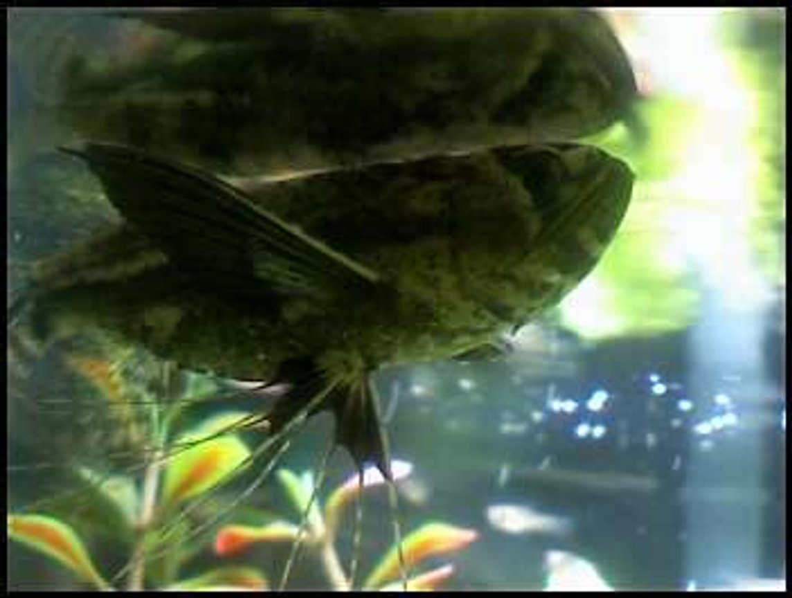 freshwater fish - pantodon buchholzi - african butterflyfish stocking in 46 gallons tank - My Butterfly