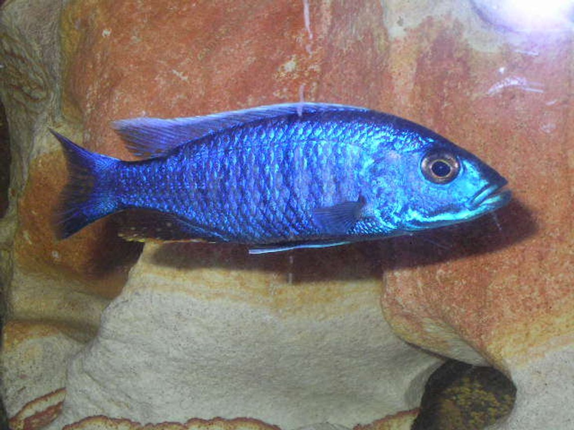 freshwater fish - sciaenochromis ahli - electric blue cichlid stocking in 55 gallons tank - Brikemond's Electric Blue Ahli Cichlid: Bloo