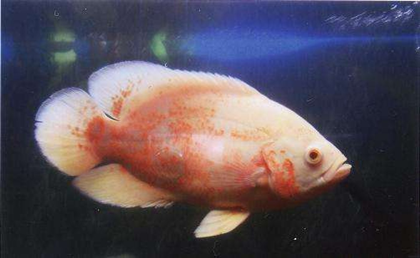 freshwater fish - astronotus ocellatus - albino oscar stocking in 55 gallons tank - Albino Oscar 2yrs old, very placid for an oscar which is weird as her tank mate (a tiger oscar) was very aggresive towords the sliver dollars in there with them