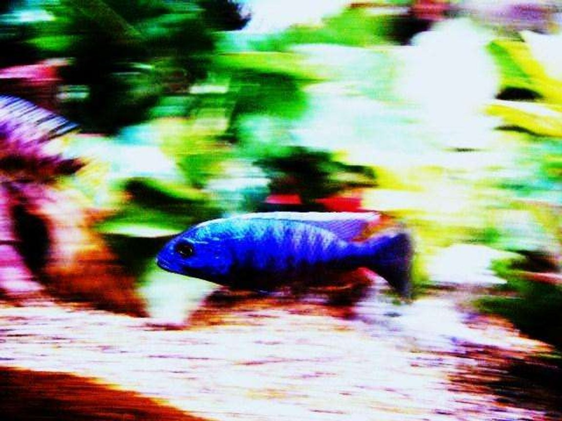 freshwater fish - sciaenochromis ahli - electric blue cichlid stocking in 80 gallons tank - electric blue