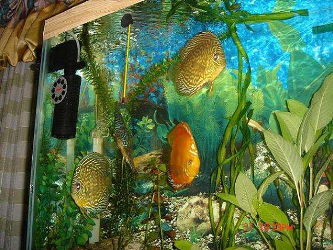 freshwater fish - symphysodon sp. - red leopard discus stocking in 50 gallons tank - A group of my discus fishes