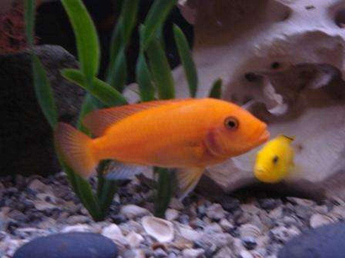 freshwater fish - pseudotropheus estherae - red zebra cichlid stocking in 75 gallons tank - Red Zebra & Yellow Lab