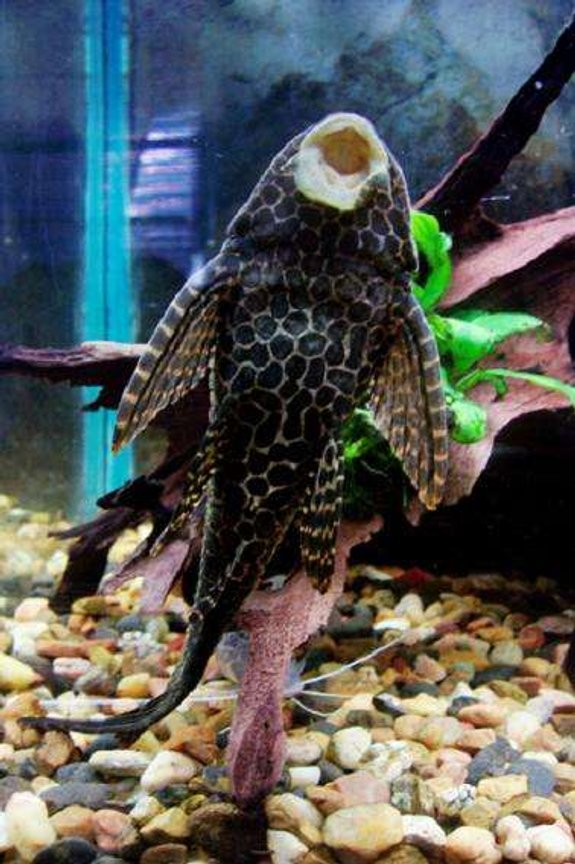freshwater fish - glyptoperichthys gibbiceps - sailfin pleco (l-83) stocking in 50 gallons tank - the belly of my large sailfin pleco