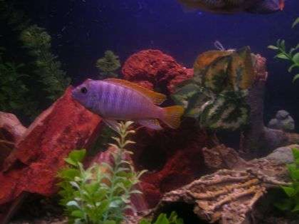 freshwater fish - maylandia greshakei - red top cobalt zebra stocking in 55 gallons tank - Brikemond's Ice Blue Mbuna: Icey