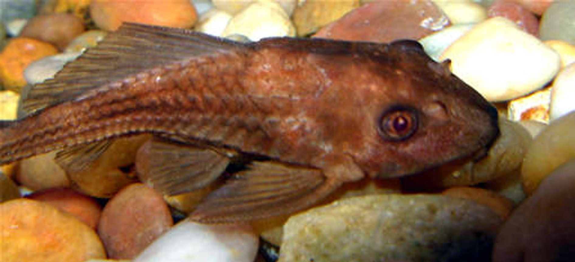 freshwater fish - ancistrus sp. - bushy nose pleco l-144 stocking in 55 gallons tank - Algae Eater