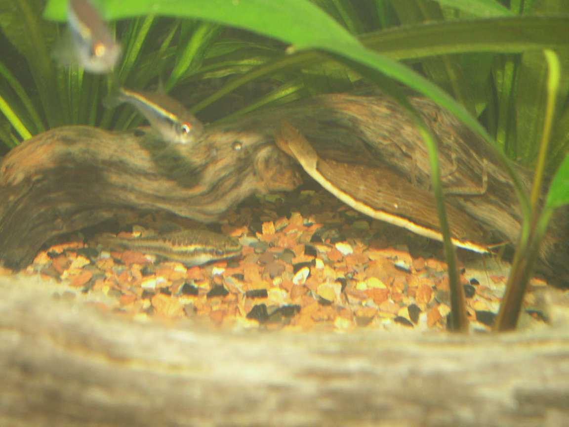 freshwater fish - otocinclus sp. - otocinclus catfish stocking in 55 gallons tank - Marble shrimp, otocinclus, and some tetras