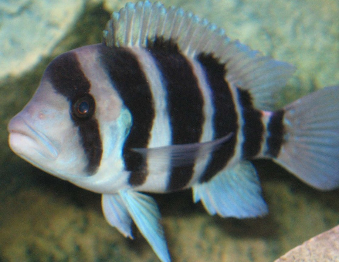 freshwater fish - cyphotilapia frontosa - frontosa cichlid stocking in 46 gallons tank - Frontosa