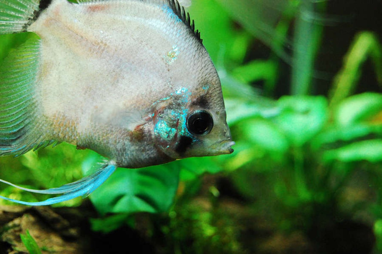 freshwater fish - symphysodon sp. - white discus stocking in 75 gallons tank - Angelfish