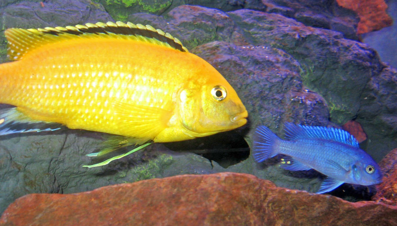 freshwater fish - labidochromis caeruleus - electric yellow cichlid stocking in 46 gallons tank - Powder Blue with Lemon Lab
