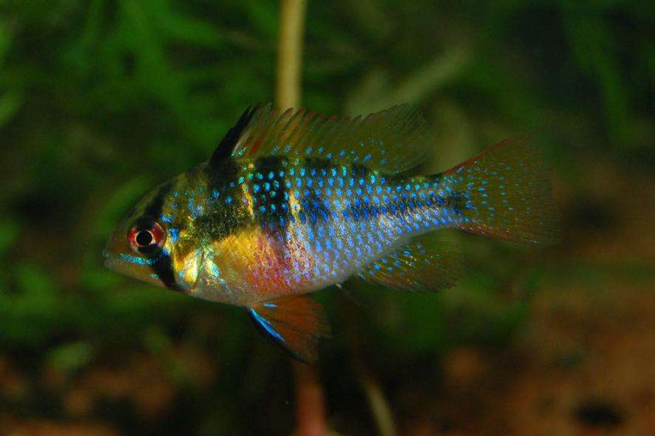 freshwater fish - papiliochromis ramirezi - german blue ram stocking in 120 gallons tank - German Blue Ram