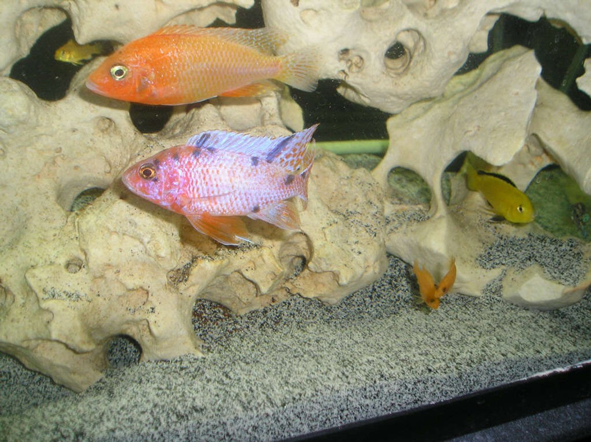 "freshwater fish - labidochromis caeruleus - electric yellow cichlid stocking in 210 gallons tank - Firefish (""Blaze"") and Orange Blotched Peacock (""Tang"") Cichlids There is also an Electric Yellow and 2 Red Zebra babies in the picture."