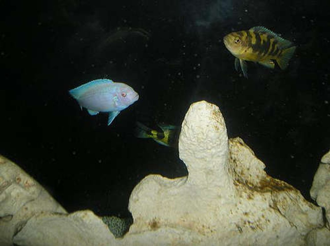"freshwater fish - pseudotropheus socolofi - albino socolofi stocking in 210 gallons tank - Albino Zebra (""Whitey"") and Bumblebee (""Sting"") Cichlid Interesting how iridescent the Albino is, because he's rather pink in normal light as opposed to the blue you see here with the flash."