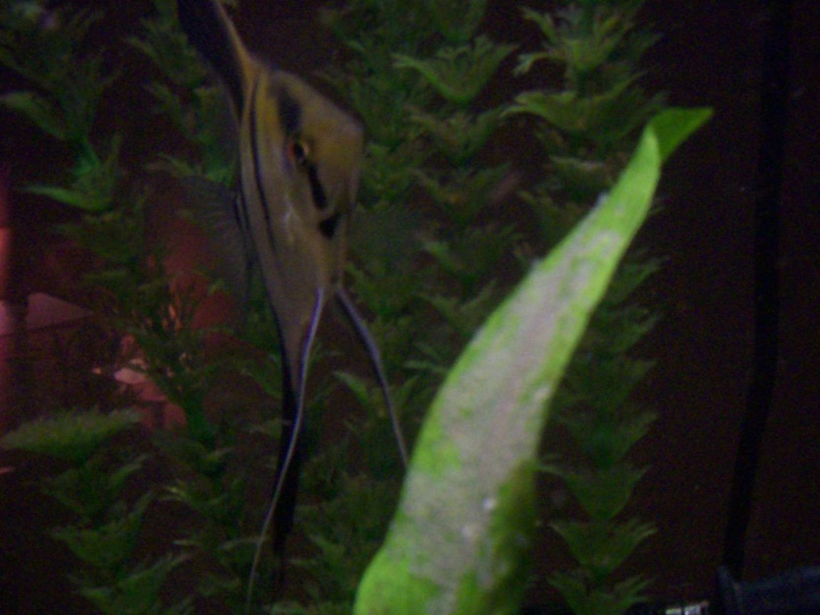 freshwater fish - pterophyllum altum - altum angel - autum angelfish breeding