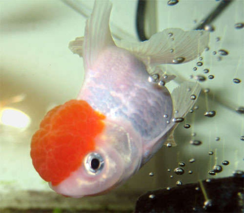 freshwater fish - carassius auratus - red cap oranda goldfish stocking in 26 gallons tank - New Oranda