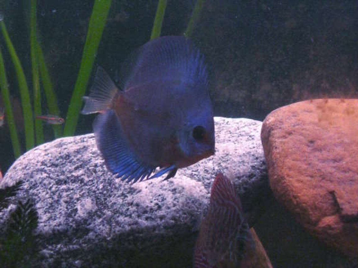 freshwater fish - symphysodon sp. - blue diamond discus stocking in 55 gallons tank - blue diamond discus