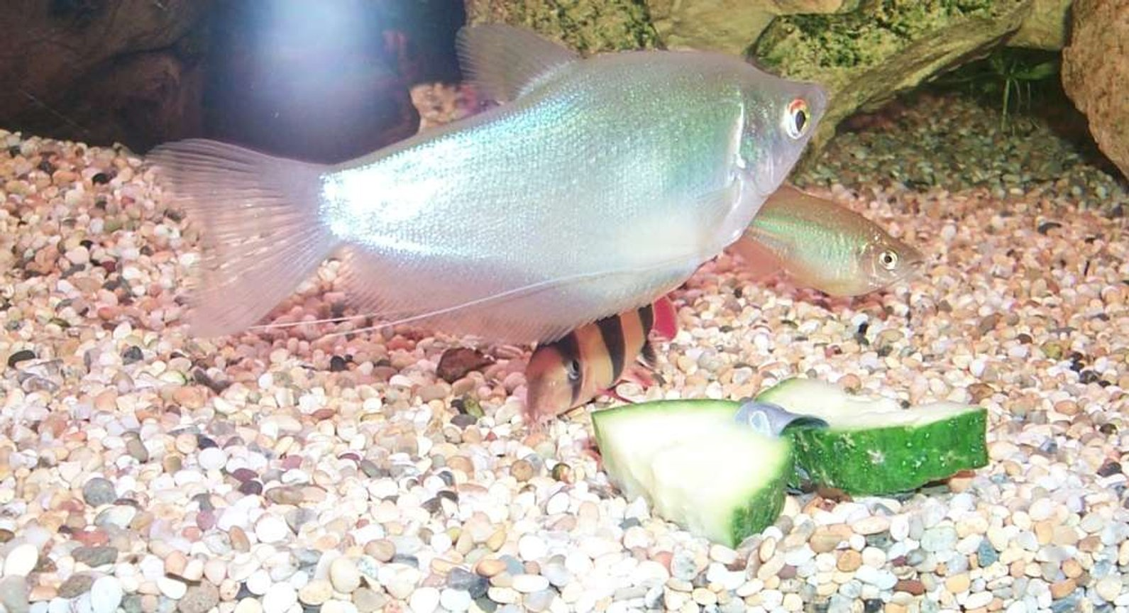 freshwater fish - trichogaster microlepis - moonlight gourami stocking in 106 gallons tank - Moonlight Gourami.