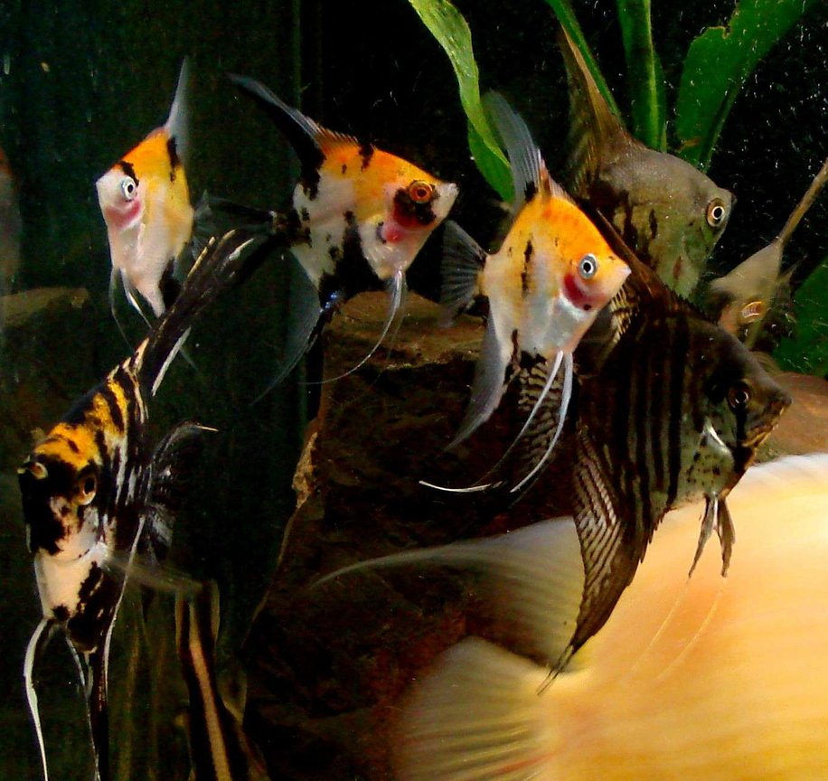 freshwater fish - pterophyllum sp. - koi angel stocking in 200 gallons tank - My herd of angelfish wait for their breakfast