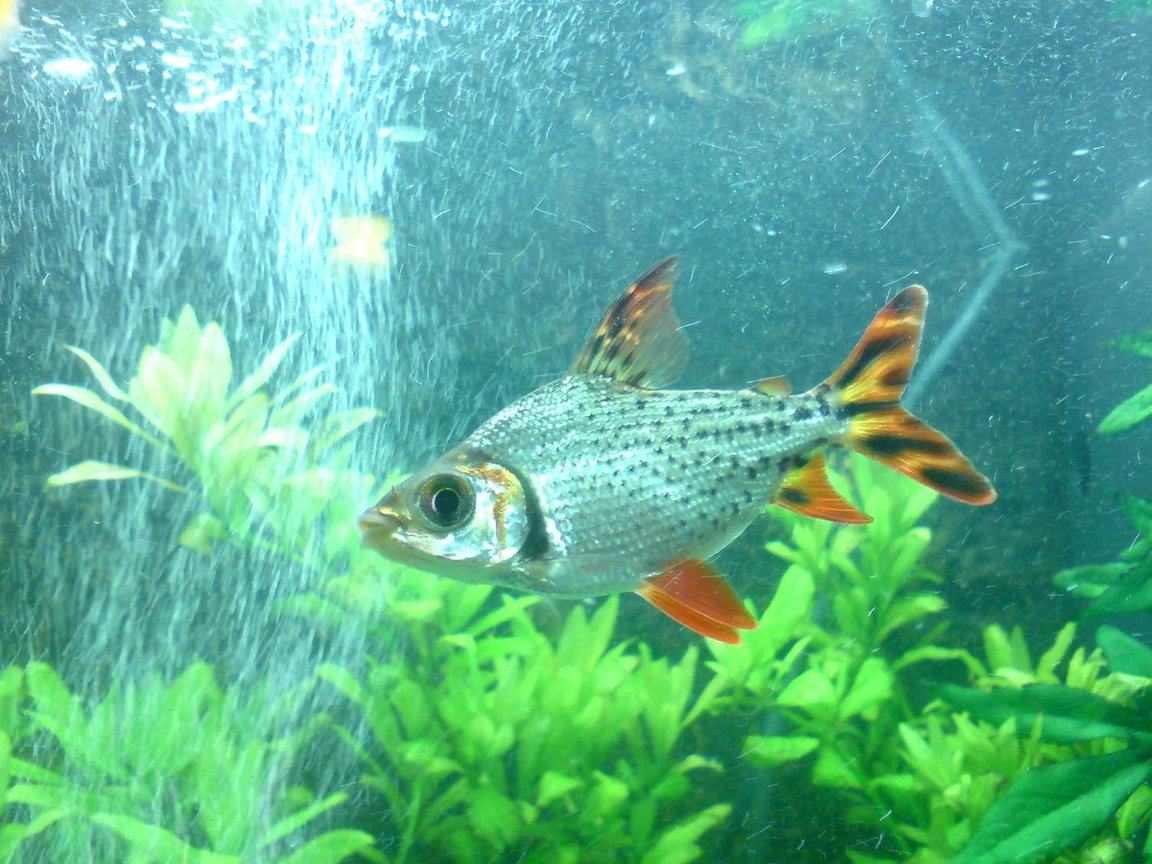 freshwater fish - semaprochilodus taeniurus - redfin prochilodus stocking in 48 gallons tank - The striking silver flagtail (common name) Believe its called a Procholodus, not entirely sure. Beautiful fish.