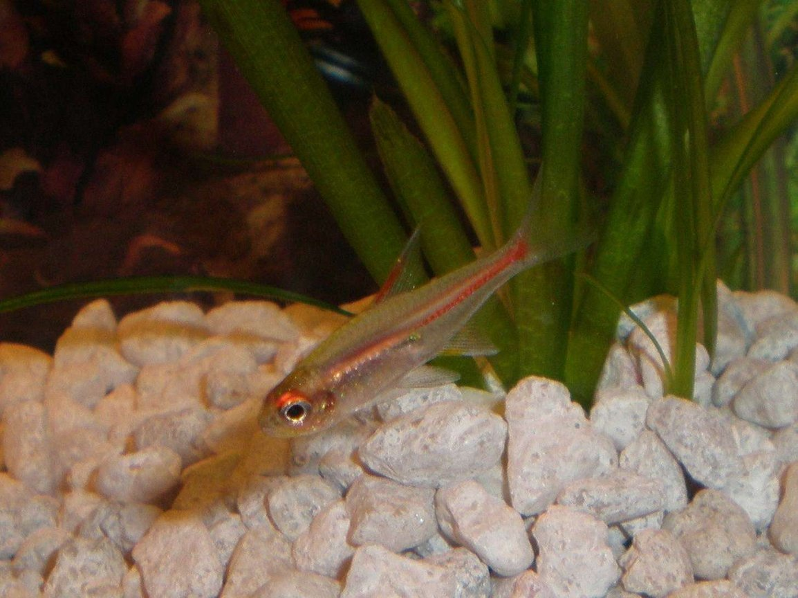 freshwater fish - hemigrammus erythrozonus - glowlight tetra stocking in 20 gallons tank - Glow light Tetra