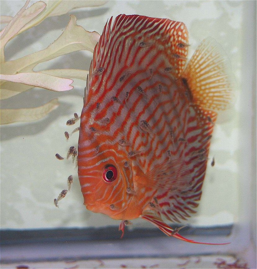 freshwater fish - symphysodon spp. - red turquoise discus stocking in 75 gallons tank - Mommy Discus and Babies