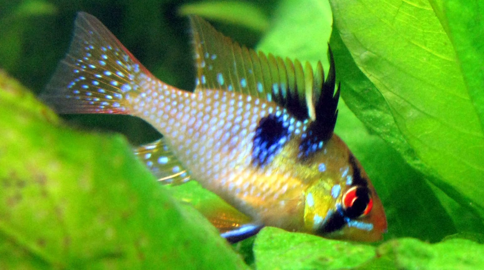 freshwater fish - papiliochromis ramirezi - german blue ram stocking in 44 gallons tank - Blue Ram looking for leftover bloodworms