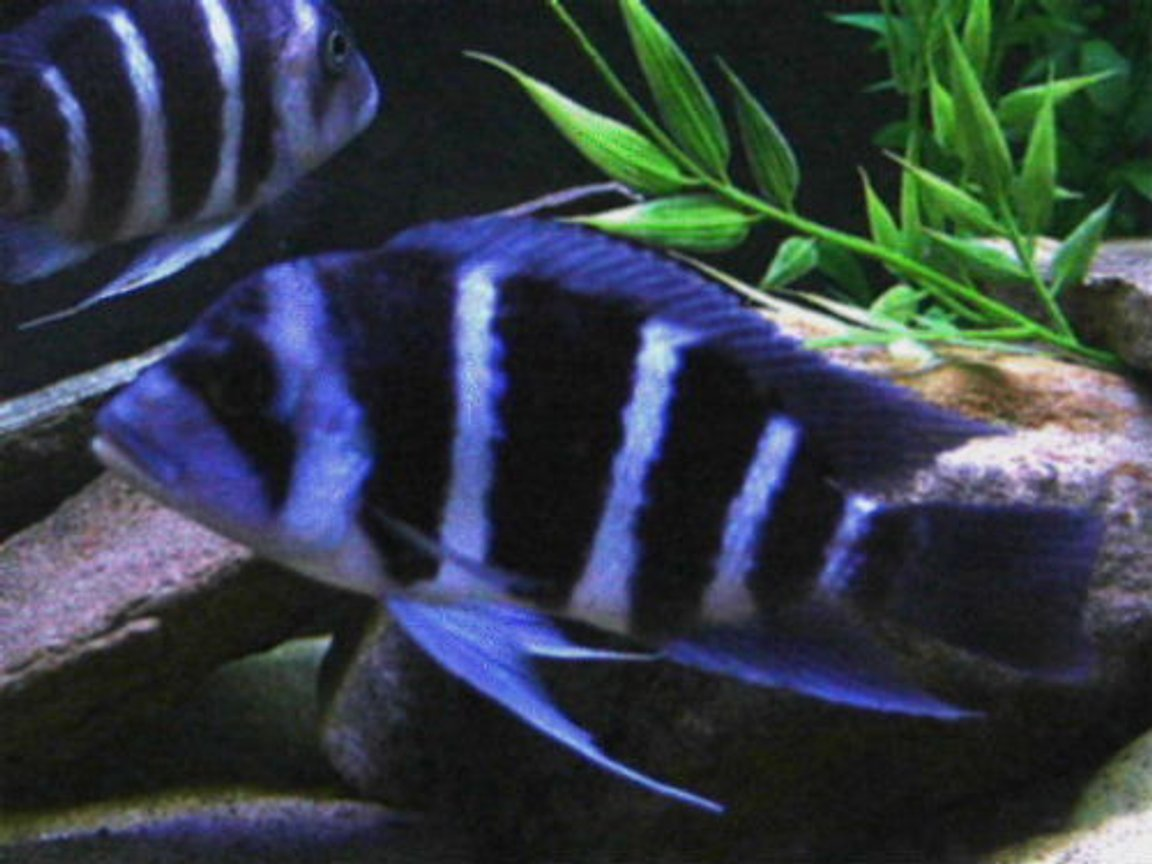 freshwater fish - pseudotropheus demasoni - demasoni cichlid stocking in 75 gallons tank - Electric blue cichlid