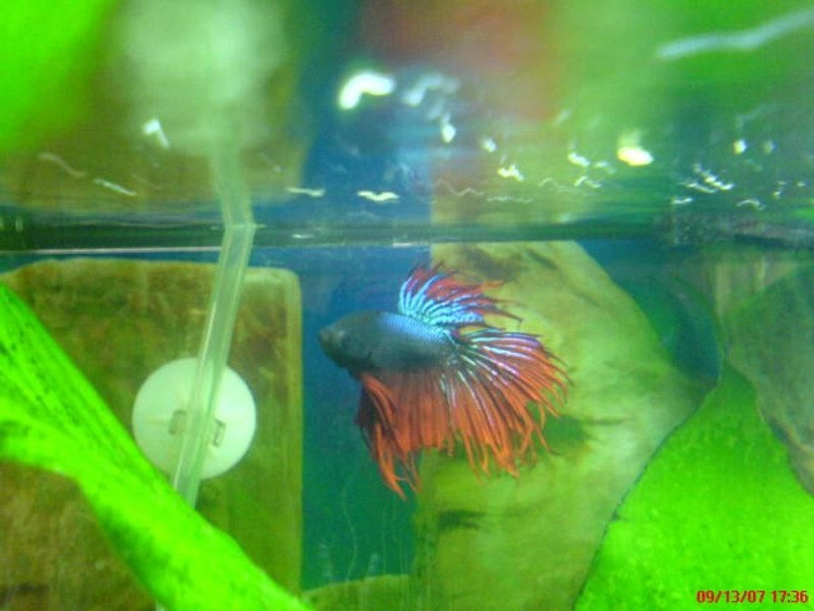 freshwater fish - betta splendens - crown tail betta stocking in 20 gallons tank - My Red CrownTail Betta Very Aggresive My Favorite
