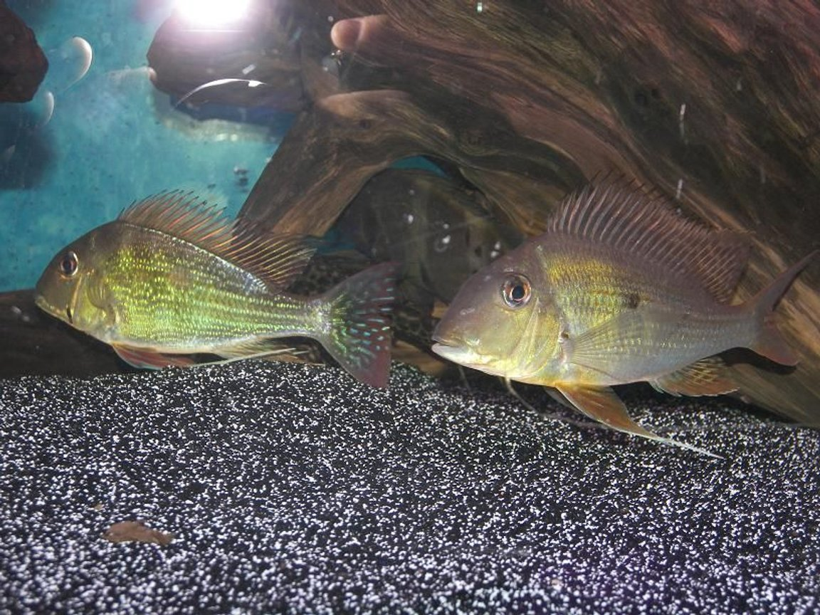 freshwater fish - geophagus dicrozoster - monster fish stocking in 120 gallons tank - Geophagus Altifrons Geophagus Dicrozoster I love my geo's.
