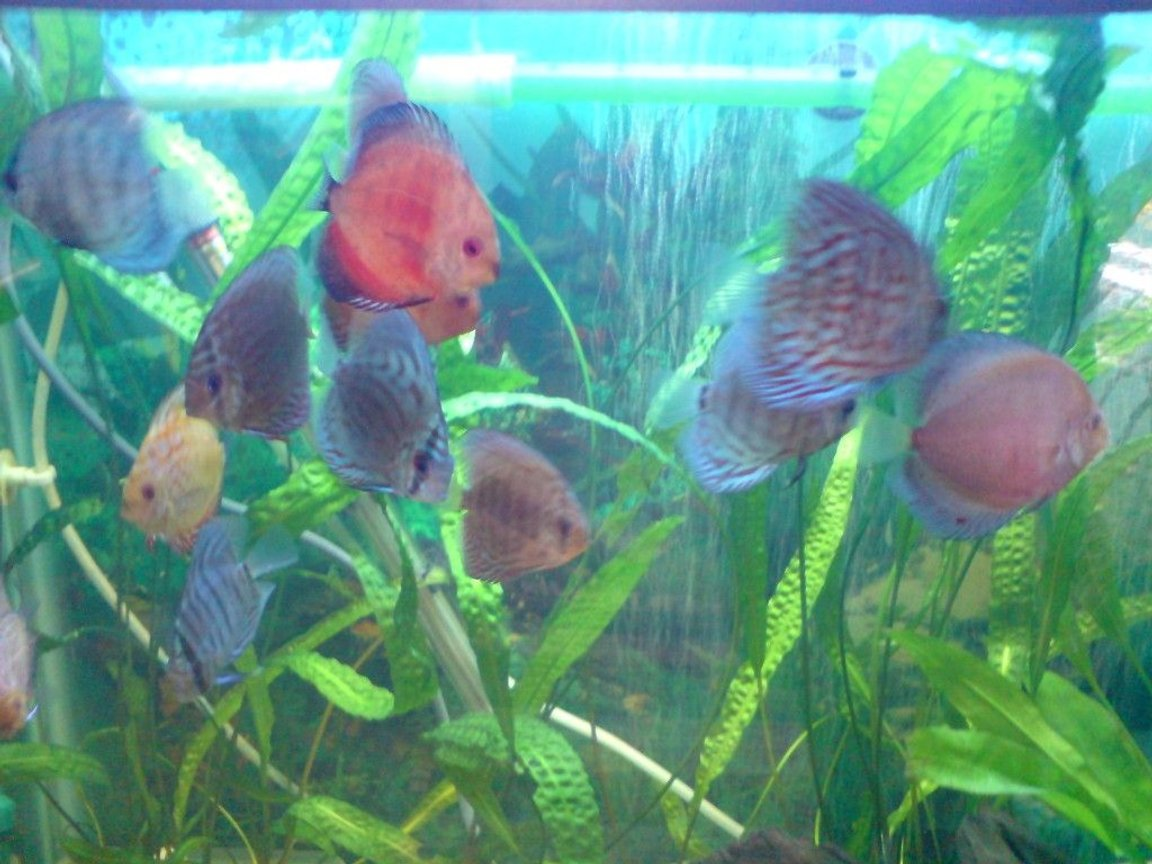 freshwater fish - symphysodon sp. - blue diamond discus stocking in 100 gallons tank - discus tank