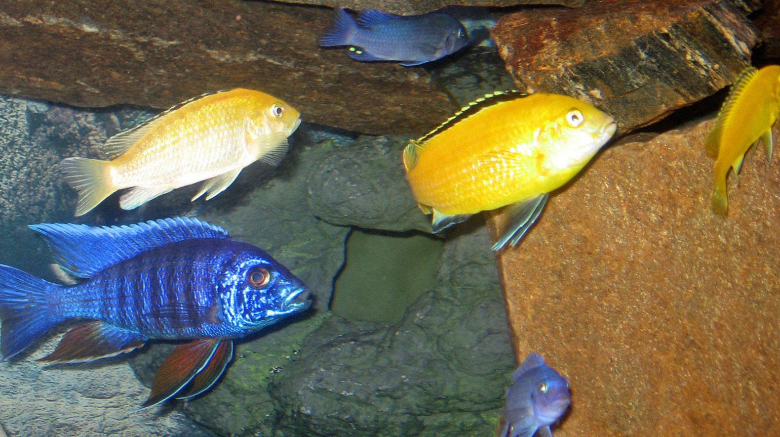 freshwater fish - labidochromis caeruleus - electric yellow cichlid stocking in 46 gallons tank - group of africans
