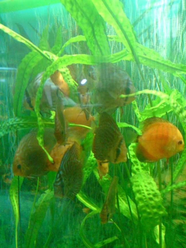 freshwater fish - symphysodon sp. - yellow marlboro discus stocking in 100 gallons tank - discus