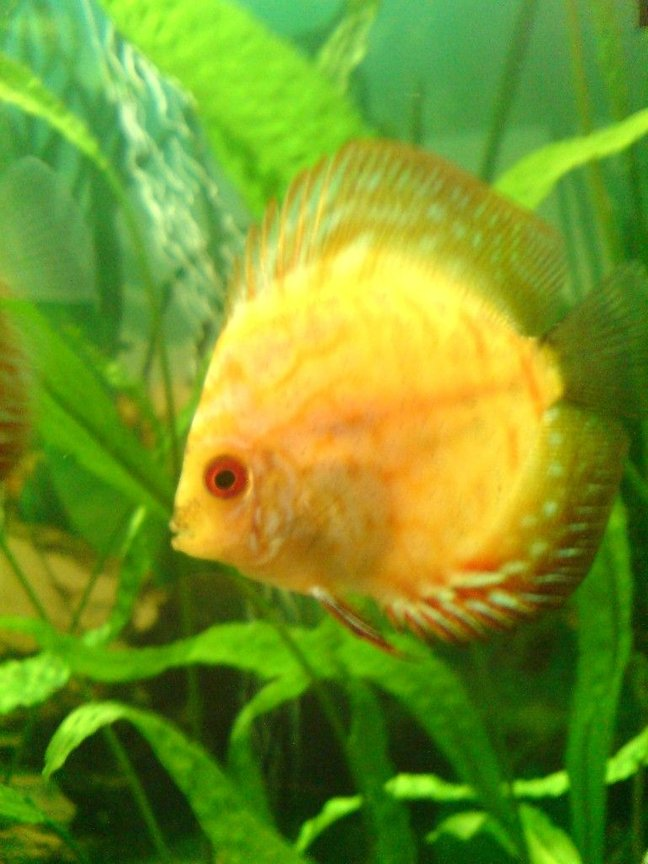 freshwater fish - symphysodon sp. - yellow marlboro discus stocking in 100 gallons tank - Goldy