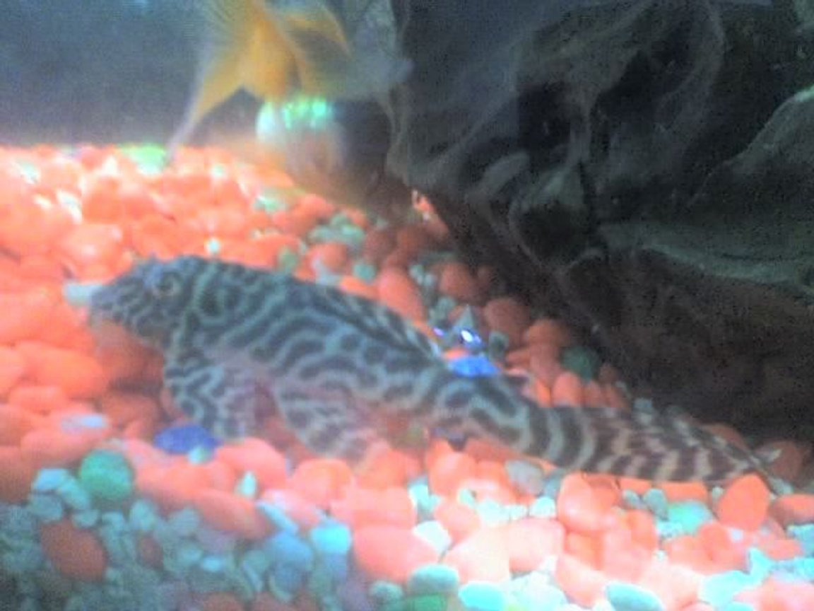 freshwater fish - hypancistrus sp. - queen arabesque pleco stocking in 30 gallons tank - my pleco other side view