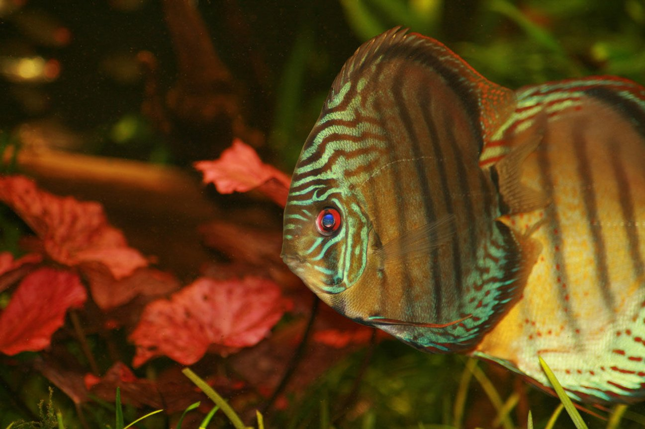 freshwater fish - symphysodon sp. - tefé green discus stocking in 422 gallons tank - GReen Tefe in full