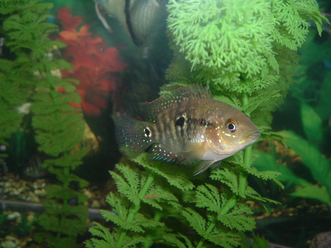 freshwater fish - thorichthys meeki - firemouth cichlid stocking in 55 gallons tank - in the day