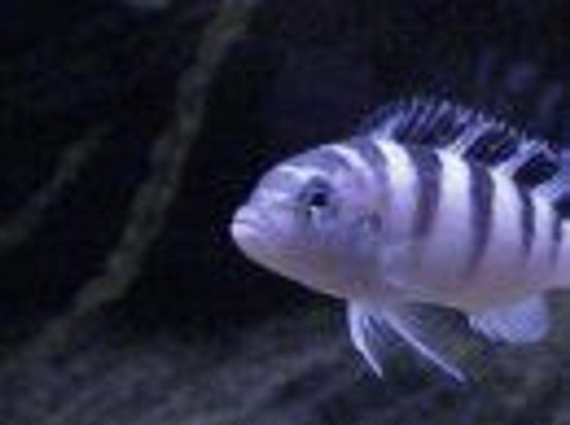 freshwater fish - metriaclima lombardoi - kenyi cichlid stocking in 55 gallons tank - my 4 inch kenyi cichid. Ive had it for 4 years