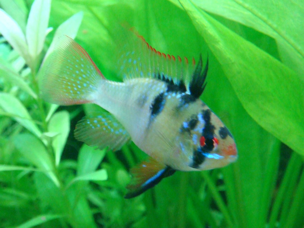 freshwater fish - papiliochromis ramirezi - german blue ram stocking in 15 gallons tank - one on my blue rams