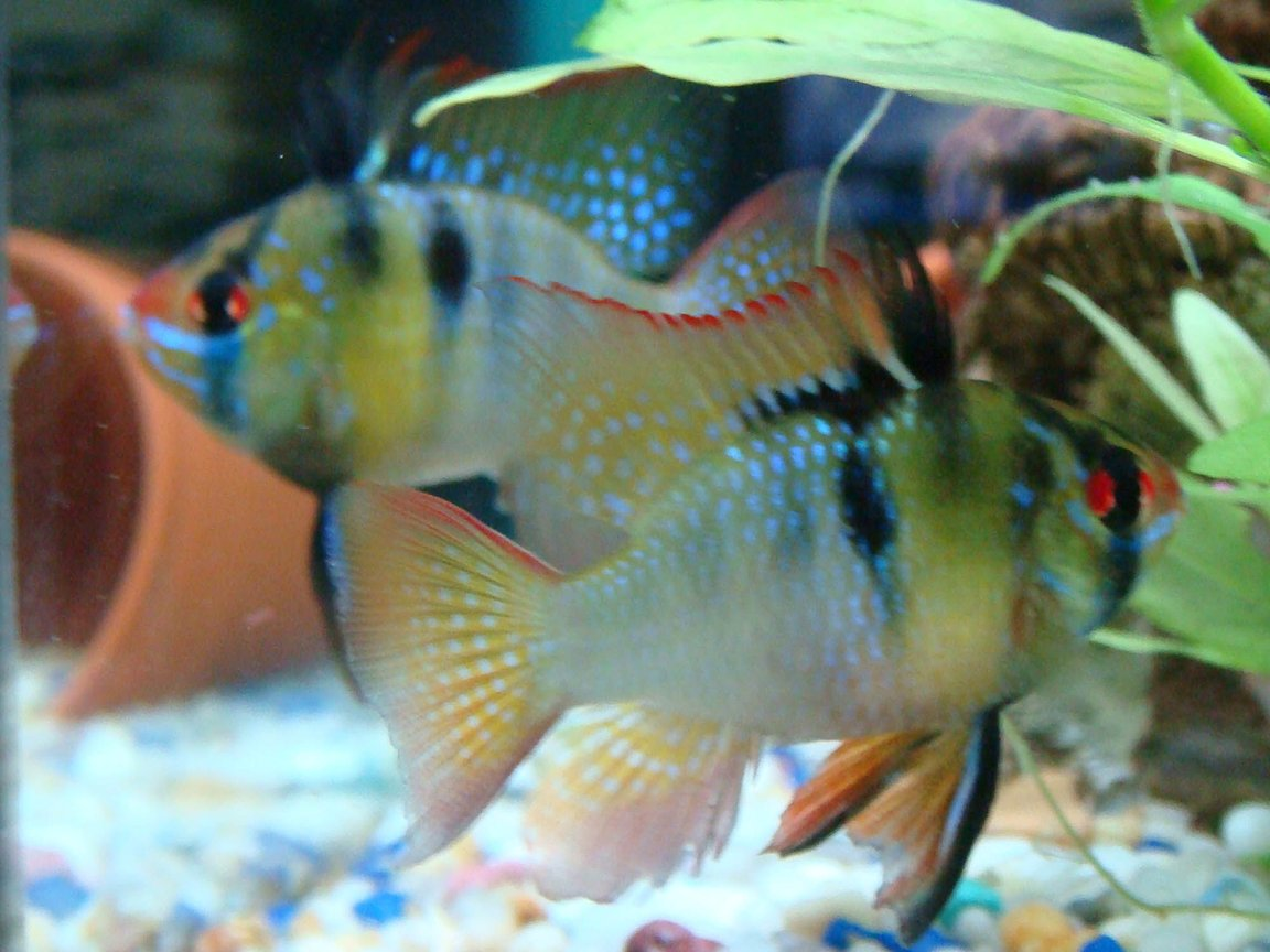 freshwater fish - papiliochromis ramirezi - german blue ram stocking in 15 gallons tank - my blue rams together
