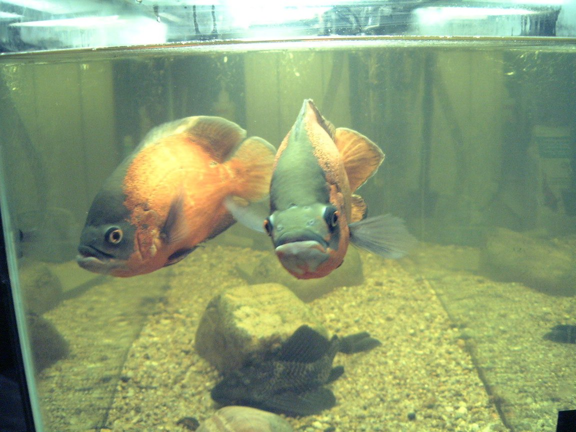 "freshwater fish - astronotus ocellatus - red oscar stocking in 75 gallons tank - Red Oscars, mated pair,12"" and 14""."
