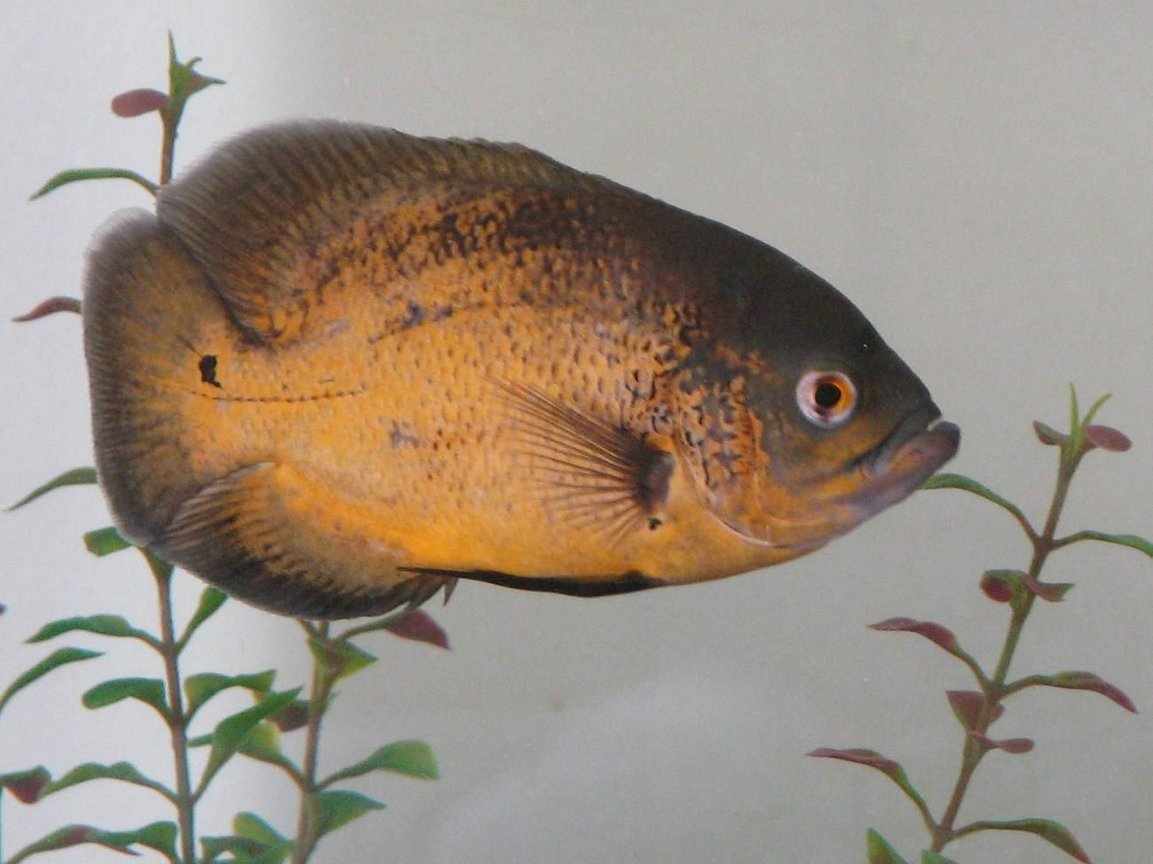 freshwater fish - astronotus ocellatus - red oscar stocking in 72 gallons tank - Peaches, our smaller oscar.