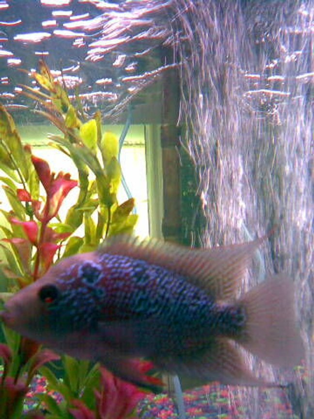 freshwater fish - cichlasoma sp. - flower horn cichlid stocking in 29 gallons tank - my new flowerhorn