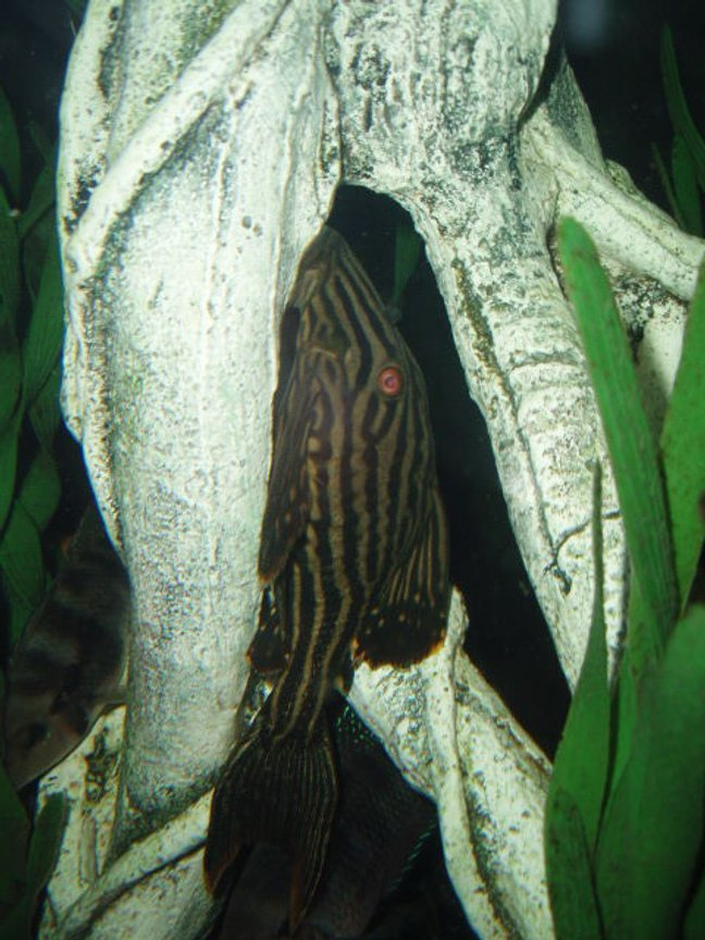 freshwater fish - panaque nigrolineatus - gold royal pleco (l-027) stocking in 72 gallons tank - Royalty