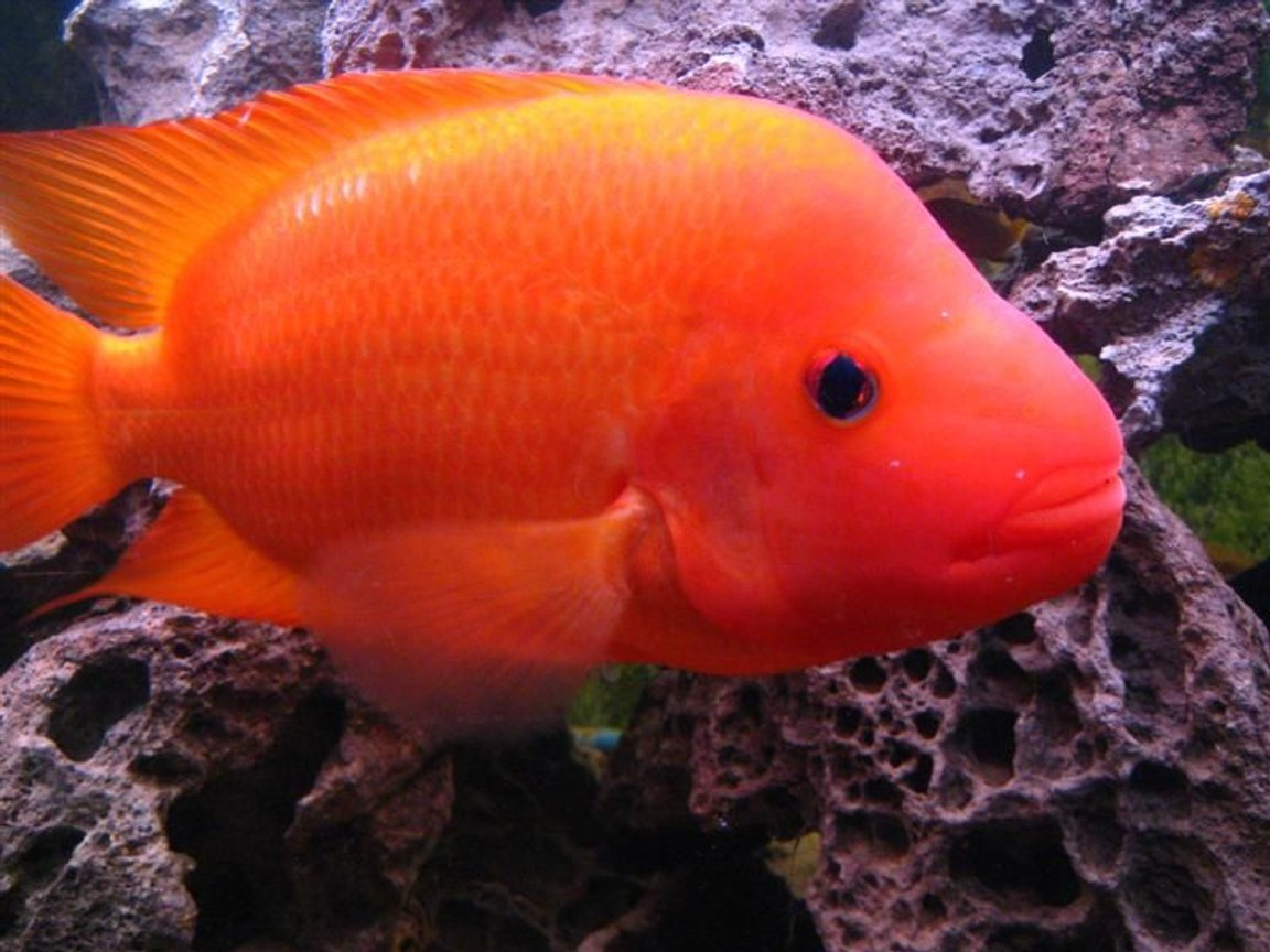 freshwater fish - amphilophus labiatus - red devil stocking in 90 gallons tank - Jeff Rapps Red Devil Cichlid 11 inches