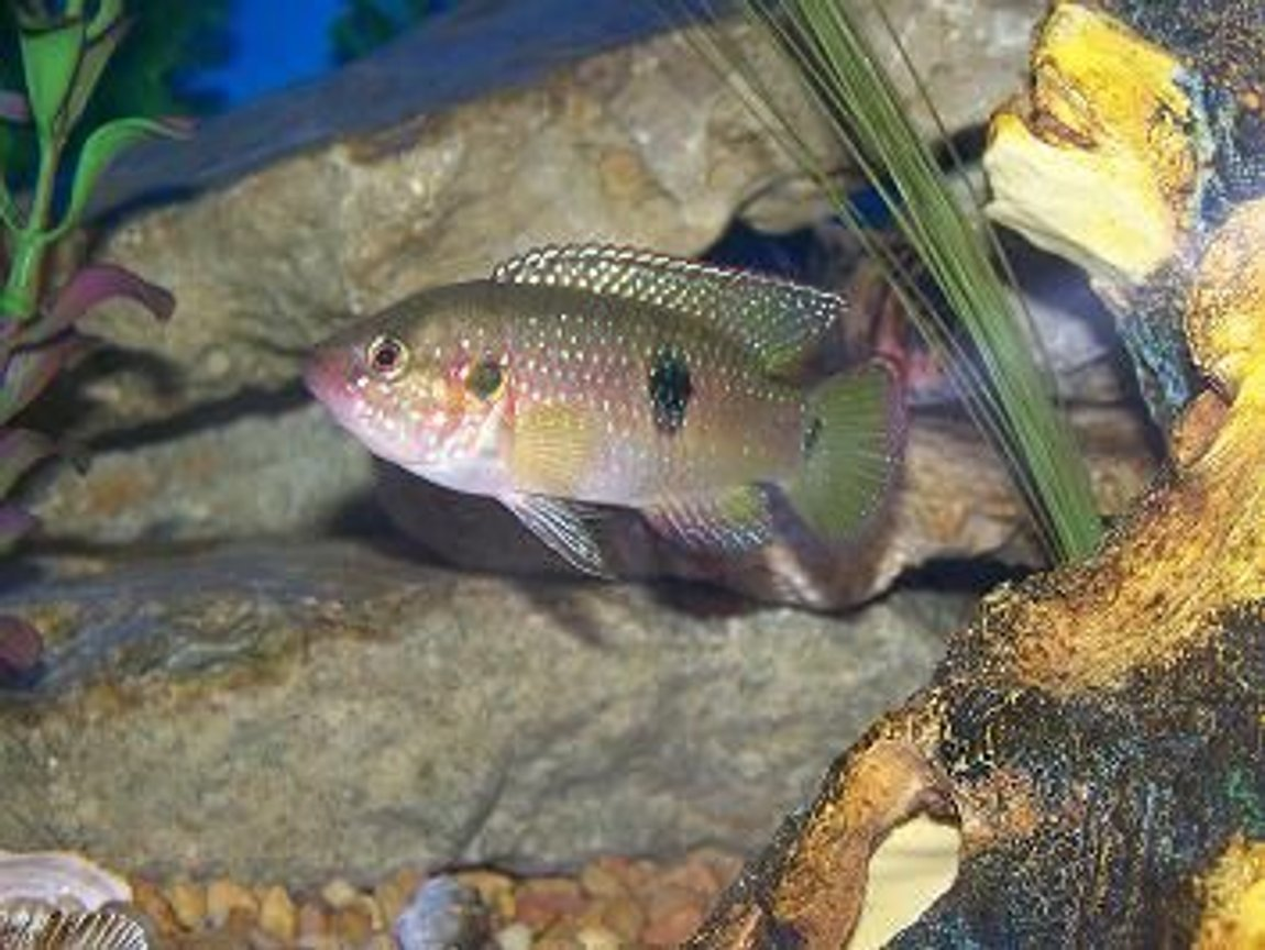 freshwater fish - hemichromis bimaculatus - jewel cichlid stocking in 90 gallons tank - jewled chilid