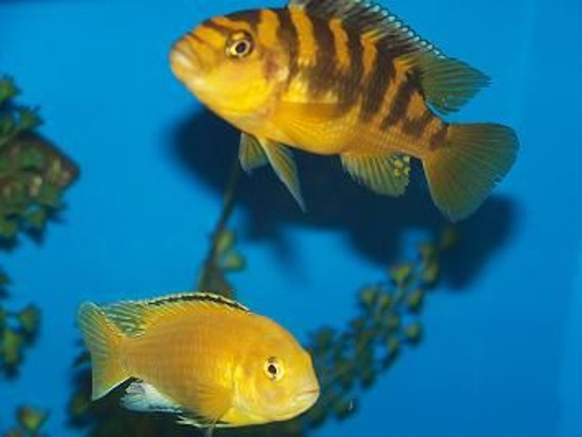 freshwater fish - labidochromis caeruleus - electric yellow cichlid stocking in 90 gallons tank - friends