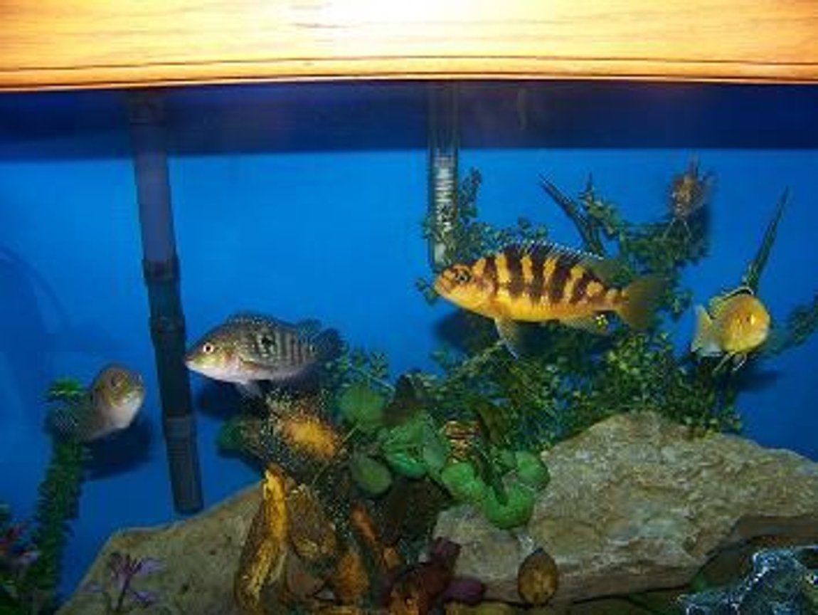 freshwater fish - pseudotropheus crabro - bumblebee cichlid stocking in 90 gallons tank - hangin out