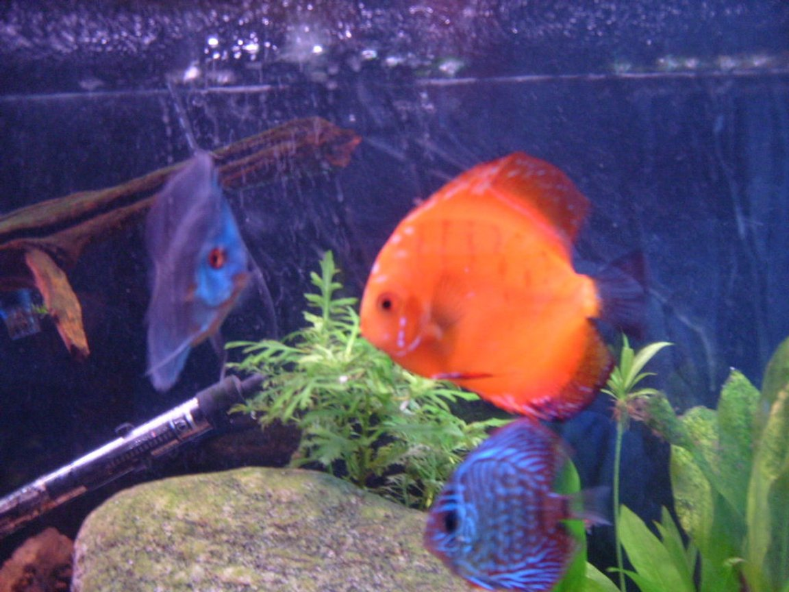 freshwater fish - symphysodon sp. - red marlboro discus stocking in 55 gallons tank - these are 3 of my discus i think that discus are the coolest fish ever if my girlfriend told me i could only have one tank the saltwater ones would have to go in favor of my discus.